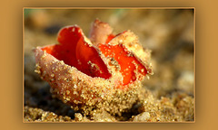 Orange Peel Fungus ~ Grote oranje bekerzwam (Aleuria aurantia)...