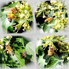 Honigbienen bei der Arbeit... ©UdoSm
