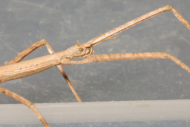 IMG 4308Stickinsect