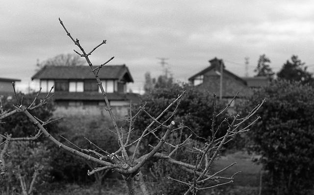 Pruned plum trees