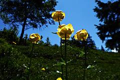 Trollblumen ... [yellow 3] ...