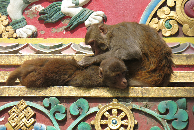 Les singes de Swayambunath (Swayambu), Kathmandu (Népal)