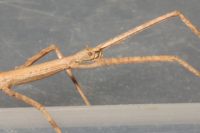 IMG 4309Stickinsect