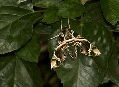 Oleanderschwärmer (Nachtfalter)