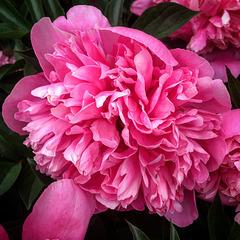 Dark pink peony.