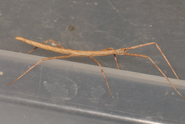 IMG 4317Stickinsects