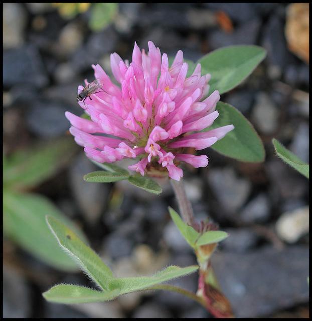 Trifolium pratense (3)