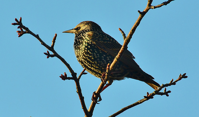 Starling catching the sun!