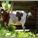 Je vais devenir chèvre avec cette chaleur !