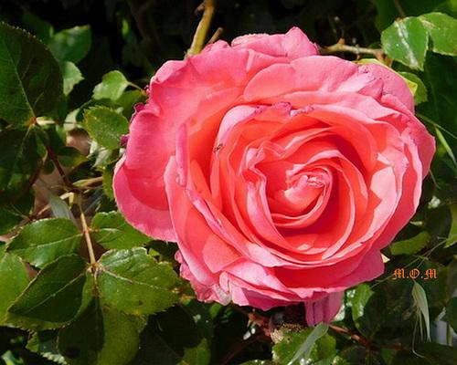 Une rose pour vous remercier de vos bons voeux***********