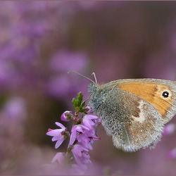 Small Heath ~ Hooibeestje (Coenonympha pamphilus) on the Dutch heather...
