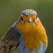 Robin close up