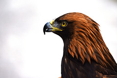 Haupt des Adlers