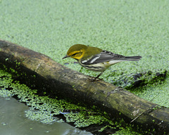 paruline à gorge noire / black-throated green warbler