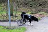 Disabled dog...