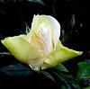 Rose du soir espoir ! Night rose = Hope