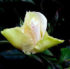 Rose du soir espoir ! Night rose = Hope