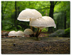 Oudemansiella mucida - Porcelain Fungus