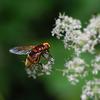 Hornet fly mimic