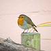 Robin posing.