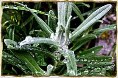 Edelweiß in rain... ©UdoSm