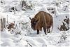 European bison/ Wisent - PIP