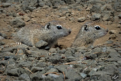 Adorable Belding's Ground Squirrel Kits at Diamond Lake