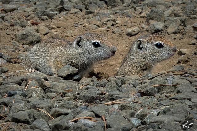 Adorable Belding's Ground Squirrel Kits at Diamond Lake