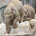 Rock climbing baby elephants
