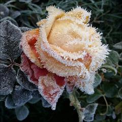 Frosty rose.