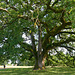 Le chêne de Tombeboeuf.