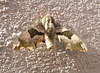 Lindenschwärmer - tilio-papilio