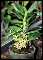 Gastrochilus japonicus (1)