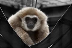 Gibbonmann Sundar (Wilhelma)