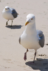 A limp wristed seagull on Texel Island