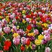 Nederland - Julianadorp, Tulpen Pluktuin