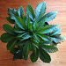 Humboldt Tri-Leaf 03