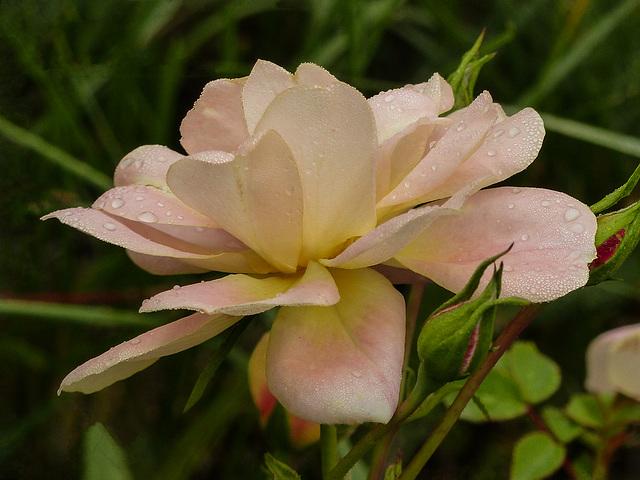 Memorial Rose for Carl Handfield