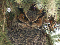 Great Horned Owl - posting just for the record