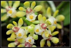Gastrochilus japonicus (8)