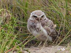 Burrowing Owl in the wild