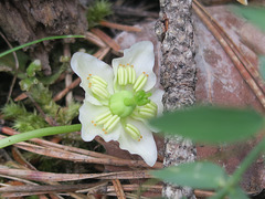 Pyrole à une fleur (Moneses uniflora), vallée de la Clarée (France)