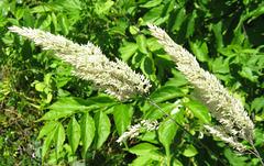 Trailside Flowering Grass (Explored)