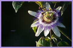 La Passiflora o Flor de la pasión...
