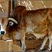 AbuDhabi : un giovane bisonte nel parco di Marina Mall