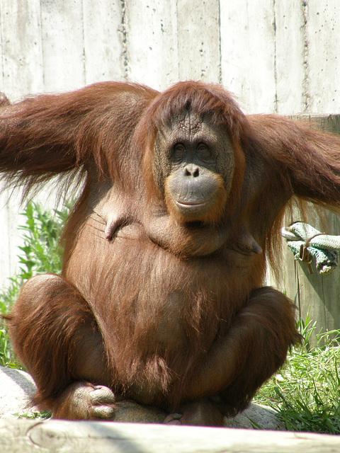 Orangutan at St. Paul Zoo