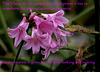 Crinum Powellii copy