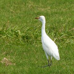 (Cattle?) Egret, on way to Caroni Swamp, Trinidad