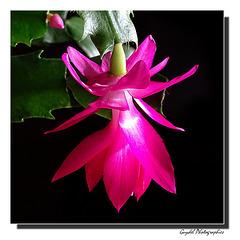 Le Schlumbergera ( Cactus de Noël ) ...