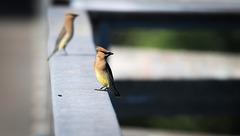 Waxwings on the bridge